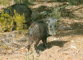 stock photo of javelina  - Javelinas are members of the peccary family - JPG