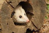 stock photo of opossum  - opossum peeking out of a log in nature daytime summer - JPG