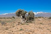 picture of sagebrush  - Bush of sagebrush  - JPG