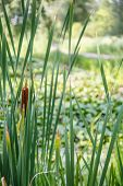 foto of cattail  - Cattails and grasses in a wetland marsh - JPG