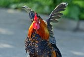 picture of roosters  - Beautiful decorative rooster on the farm in the spring