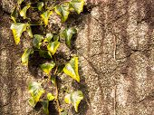 image of climber plant  - Climber plant on the rock wall - JPG