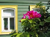 image of dog-rose  - flowers of a dog rose on and window of the wooden house - JPG