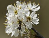 foto of formica  - Blackthorn blossom  - JPG