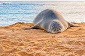 picture of endangered species  - An endangered Hawaiian Monk Seal rests on Poipu beach at sunset in Kauai - JPG
