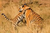 foto of tiger cub  - An affectionate moment between a Bengal Tiger and her cub