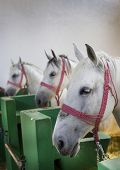 picture of lipizzaner  - Closeup of a heads of the white Lipizzan horses in stabling - JPG