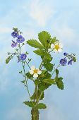 foto of wispy  - Wild flowers speedwell and strawberry flowers against a blue sky with white wispy clouds - JPG