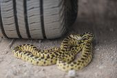 picture of gopher  - Gopher snake hidden under car tire .