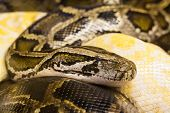 pic of snake-head  - Detail of head of dangerous snake python