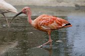 picture of scarlet ibis  - Scarlet Ibis Portrait shot in Athens Zoo