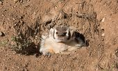 picture of badger  - the badger  is looking out of his den on a side of a sand hill - JPG