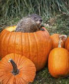 stock photo of marmot  - Groundhog - JPG