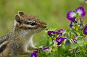 foto of chipmunks  - Chipmunk sniffing and preparing to eat viola flowers - JPG