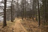 pic of walking dead  - Path in a forest of dead pine trees on a misty late fall day - JPG