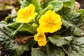 image of primrose  - Yellow primrose on green leaves in autumn - JPG