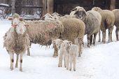 picture of mites  - Sheep herd walking on snow on farmland - JPG