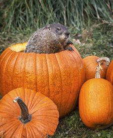 picture of groundhog  - Groundhog - JPG