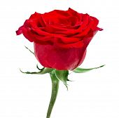 pic of english rose  - One Red Rose Flower isolated on white background - JPG