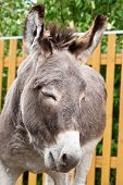 pic of headstrong  - Donkey closeup portrait in sunny day - JPG
