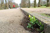 pic of celandine  - Wild spring flower celandine growing from roadside - JPG
