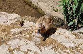 stock photo of slaughter  - Female Mallard with duckling on the riverbank Lower Slaughter Cotswolds Gloucestershire England UK Western Europe - JPG