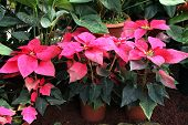 picture of poinsettia  - House plant with a rosette of red leaves Poinsettia fairest - JPG