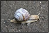 stock photo of snail-shell  - On the way in standing snail with a beautiful shell and long antennae - JPG