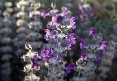 stock photo of salvia  - Spring flowering of salvia in the desert - JPG