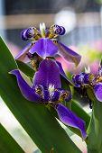 picture of purple iris  - all purple Walking Iris on nature background - JPG