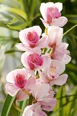 picture of spike  - Flowering exotic pink Cymbidium orchids on a spike growing on a potted plant in a house or nursery - JPG