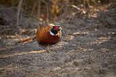 foto of pheasant  - Pheasant walking on the ground on a sunny spring day - JPG