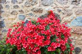 picture of azalea  - Big bush of an red azalea in the yard near a stone wall of the house - JPG