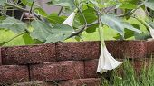 stock photo of datura  - Moonflower Vine. Datura wrightii - Jimsonweed. Large Drooping White Bloom with Red Brick. ** Note: Soft Focus at 100%, best at smaller sizes - JPG