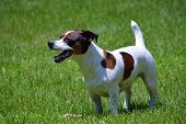 picture of spotted dog  - A Jack Russell Terrier Dog stands looking happy in a yard - JPG