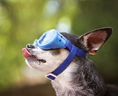 stock photo of licking  -  a cute chihuahua wearing goggles and sitting outside during summer time licking his nose  - JPG