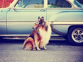 a collie posing for the camera in front of a classic car during a hot summer day with goggles on of  poster