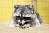 picture of tame  - tamed raccoon in a cage in a city manual zoo - JPG