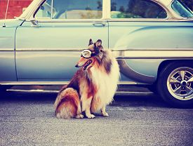 picture of furry animal  - a collie posing for the camera in front of a classic car during a hot summer day with goggles on of a classic car toned with a retro vintage instagram filter action effect app - JPG