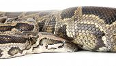 pic of anaconda  - a photo of anaconda on white background - JPG