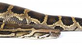 picture of anaconda  - a photo of anaconda on white - JPG