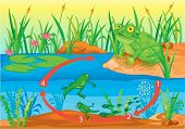 picture of tadpole  - Illustration of  a cartoon frog on white - JPG