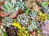 Rectangular arrangement of succulents; cactus succulents in a planter poster