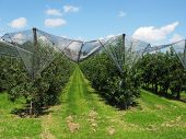 picture of apple orchard  - Apple garden - JPG