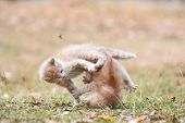 Two Little Kittens Play Outside. Playful Kittens Leaping To Each Other. Kittens Fighting poster