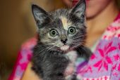 Grey Kitten With Red And White Spots. A Small Kitten Sits On The Hands Of. Portrait Of A Tricolor Ki poster
