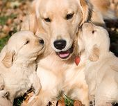 picture of golden retriever puppy  - two golden retriever happy puppies kissing mother - JPG