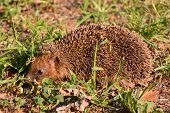 Photo  Picture Of An European Hedgehog Mammal Animal poster