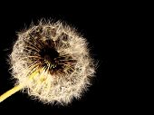 Beautiful fluffy dandelion isolated on a black background poster