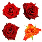foto of red rose  - Rose blossoms isolated on white background - JPG